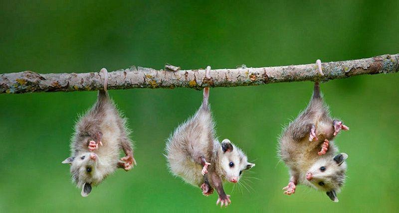 Marsupiales: Cuáles son, Características, Tipos y Ejemplos