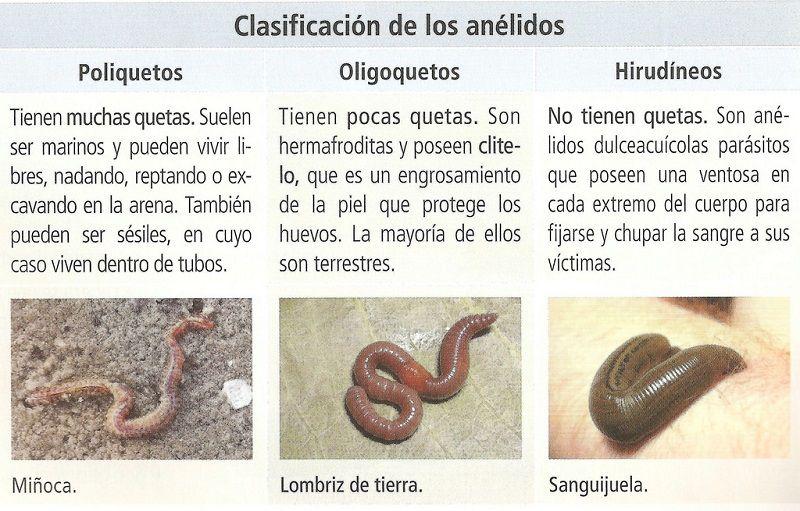 Anélidos: Información, Nombres y Ejemplos Animalesde.net