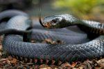 Mamba Negra, Todo Sobre la Serpiente más Peligrosa de África