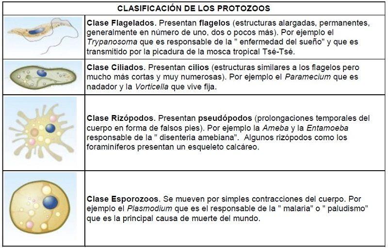 Clasificación de los protozoos