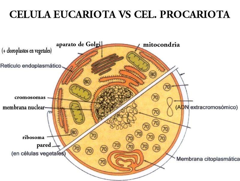 Diferencias entre células eucariotas y procariotas